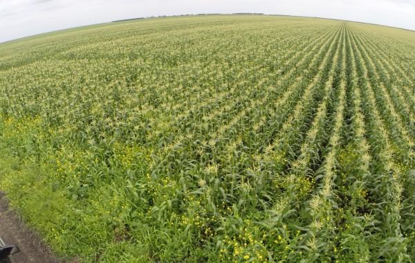 Belle Glade Corn Fields